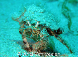 Hermit crab taken in Ras Mohamed with SP350. by Anel Van Veelen 